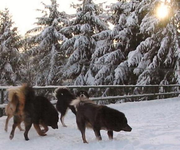 Do Khyi im Winter Tibetan Mastiffs in Snow