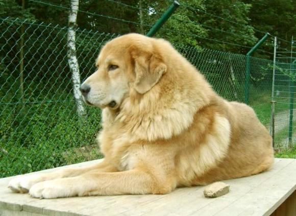 golden Tibetan Mastiff, goldfarbene Do Khyi Hündin